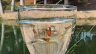 Larva İle Beslenen Lepistes Balıkları Büyükşehir'in Gençlik Kampı'nda Üretiliyor