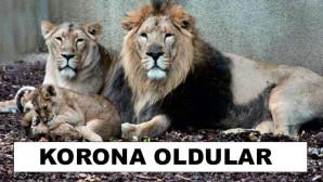 Hayvanat bahçesinde şoke eden olay! 4 aslan koronaya yakalandı