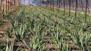 Yüzündeki Alerjiyi Geçiren Aloe veranın Üreticisi Oldu, Şimdi Taleplere Yetişemiyor